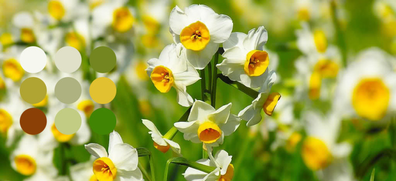narcissus-plant-palette